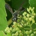 grass_carrier_wasp_sara