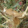 grasshopper_2_israel_ben