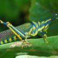 grasshopper_india