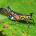grasshopper_malaysia_david