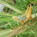grasshopper_pakistan
