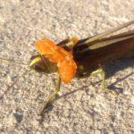 grasshopper_parasite_andrea