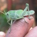 grasshopper_south_africa_sally