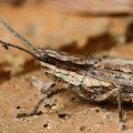 grasshopper_spider_australia_linda_2