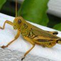 grasshopper_virginia_heather
