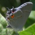 gray_hairstreak_ca