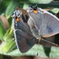 gray_hairstreak_ellen