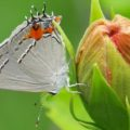 gray_hairstreak_mike