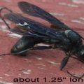 great_black_wasp_carnage_evan