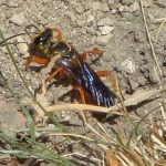 great_golden_digger_wasp_ed