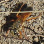 great_golden_digger_wasp_theresa