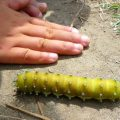 great_peacock_moth_caterpillar_france_kristi