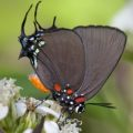 great_purple_hairstreak_ed