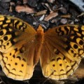 great_spangled_fritillary_bob