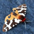 great_tiger_moth_kellie