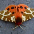great_tiger_moth_laurie