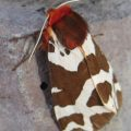 great_tiger_moth_toby