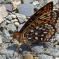 greater_fritillary_dave
