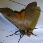 greater_yellow_underwing_cherylanne