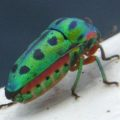 green_beetle_mauritania_alan