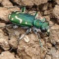 green_claybank_tiger_beetle_dwaine