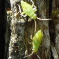 green_hemipterans_unidentified_judd