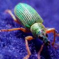 green_immigrant_leaf_weevil