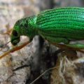 green_immigrant_leaf_weevil_dori