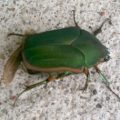green_june_beetle_franks