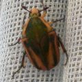 green_june_beetle_karen