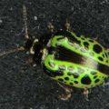 green_leaf_beetle_australia_rick