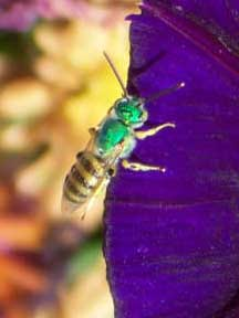 Metallic Green Sweat Bee - What's That Bug?