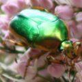 green_metallic_scarab_australia_jenny