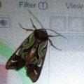 green_moth_australia