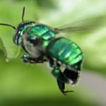 green_orchid_bee_laura