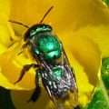 green_orchid_bee_sandy
