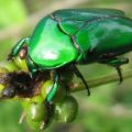 green_scarab_india_rameshb