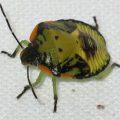 green_stinkk_bug_nymph