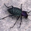 ground_beetle_china_paul