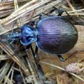 ground_beetle_kristi
