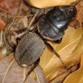 ground_beetle_madagascar