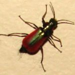 ground_beetle_red_canada_gary
