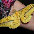 gum_moth_australia_e