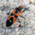 Gutta Bug
