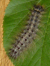 Gypsy Moth Caterpillar What S That Bug