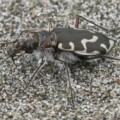 hairy_necked_tiger_beetle_denise
