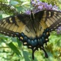 half_dark_tiger_swallowtail_tree