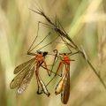 hangingflies_mating_ritual_australia_trevor