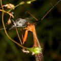 hangingfly_prey_australia_trevor