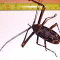 harlequin_beetle_trinidad